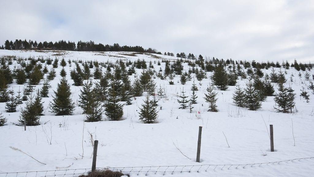 FJELLEDELGRAN: Her skal det i hvert år plantes 500 fjelledelgran i mange år framover. Foto: Jan Kristoffersen