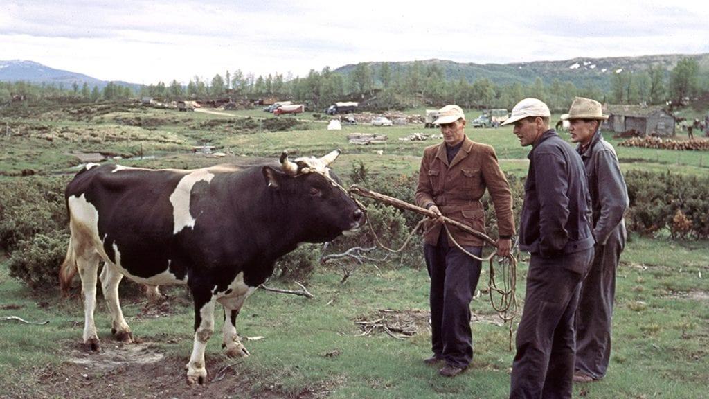 RYAN: Okse med nesering venter på å få friheten tilbake i oksehavna på Ryan i 1956. Foto: Rolf Skjøtskift