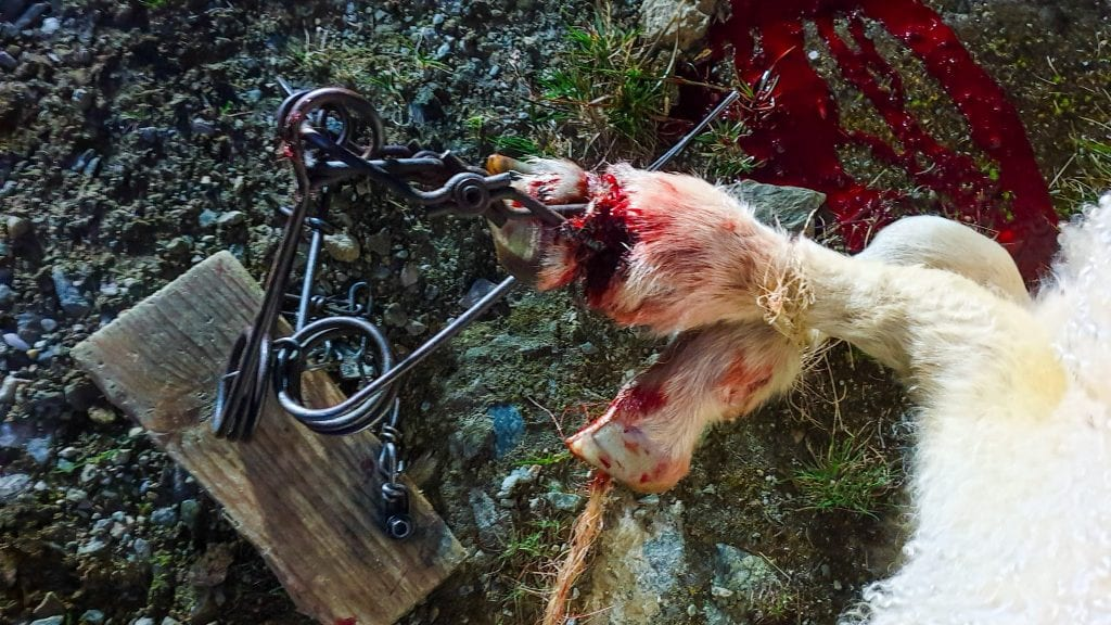 STYGG SKADE: Mår-fella knuste forbeinet til lammet. Lammet kan ha gått med den stygge skaden et døgn eller to før den ble avlivet. Foto: Lars Ola Johnsen